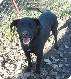 Labrador Retriever Mix Puppy for adoption in Gary, Indiana - Chester