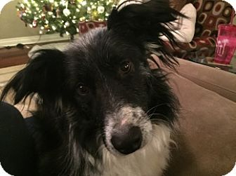 Border Collie Dog for adoption in Valparaiso, Indiana - Bella-New Update 1/3!