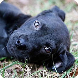 Labrador Retriever/Shepherd (Unknown Type) Mix Puppy for adoption in Cary, North Carolina - Samuel--ADOPTED