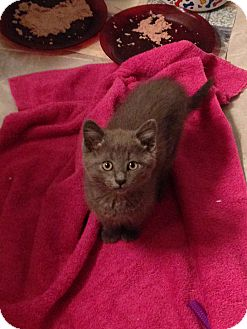 Domestic Shorthair Kitten for adoption in Thornhill, Ontario - Graycee