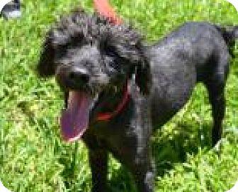 Poodle (Miniature) Mix Dog for adoption in Miami, Florida - Simbad