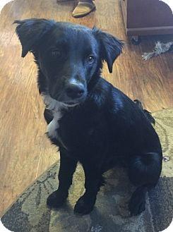 Border Collie/Labrador Retriever Mix Puppy for adoption in Conesus, New York - Stella