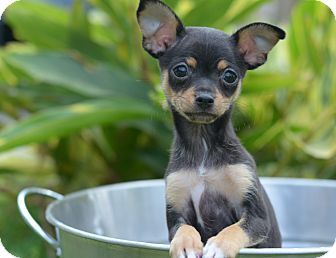 Chihuahua/Dachshund Mix Puppy for adoption in LAFAYETTE, Louisiana - ROSE