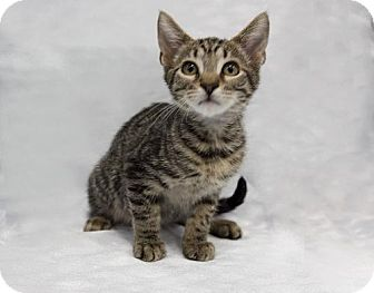 Domestic Shorthair Kitten for adoption in Tallahassee, Florida - Friday