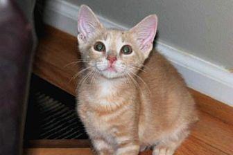 Domestic Shorthair Cat for adoption in Durham, North Carolina - Cinabun