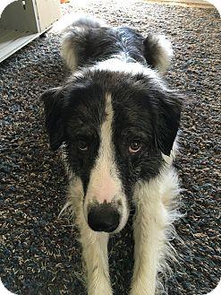 Australian Shepherd/Great Pyrenees Mix Dog for adoption in Manhattan, Kansas - Sophie