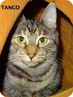 Domestic Shorthair Cat for adoption in Lapeer, Michigan - Tango
