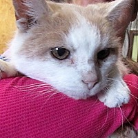 Adopt A Pet :: Ginger - Germantown, MD