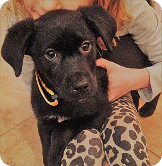 Labrador Retriever Mix Puppy for adoption in Vancouver, British Columbia - Honey