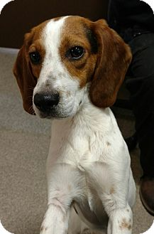 Beagle Mix Dog for adoption in Troy, Ohio - Penelope- Pending Adoption