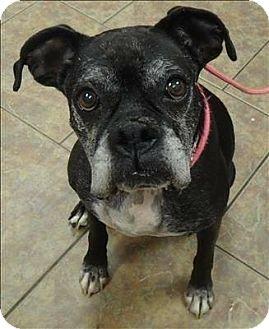 Boxer Mix Dog for adoption in Denver, Colorado - Maya