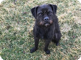 Brussels Griffon Mix Dog for adoption in Newington, Connecticut - Buttons