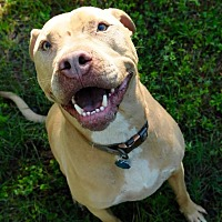 Staffordshire Bull Terrier Mix Dog for adoption in Tallahassee, Florida - Spud
