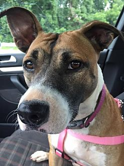 Boxer Mix Dog for adoption in Burlington, North Carolina - Annabelle