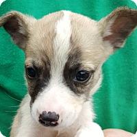 Adopt A Pet :: Gemma - Colonial Heights, VA
