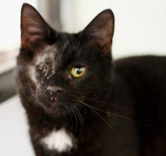 Domestic Shorthair/Domestic Shorthair Mix Cat for adoption in Huntingdon, Pennsylvania - Balboa