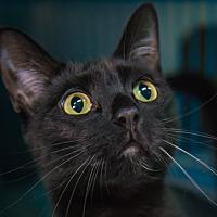 Domestic Shorthair Cat for adoption in New York, New York - Linus