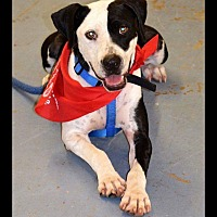 American Pit Bull Terrier/Labrador Retriever Mix Dog for adoption in Albemarle, North Carolina - Miller