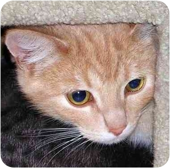 Domestic Shorthair Kitten for adoption in San Clemente, California - TUCKER