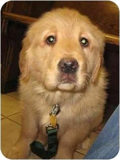 Golden Retriever Puppy for adoption in Cleveland, Ohio - Dreamer