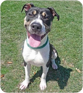 Labrador Retriever/American Pit Bull Terrier Mix Dog for adoption in San Clemente, California - VAN