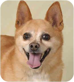 Pomeranian/Chihuahua Mix Dog for adoption in Chicago, Illinois - Cato