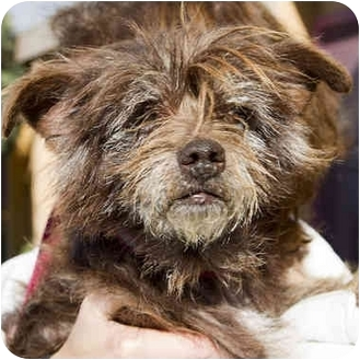 Cairn Terrier Mix Dog for adoption in Berkeley, California - Huff