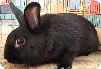 Dwarf Mix for adoption in Foster, Rhode Island - Rudy