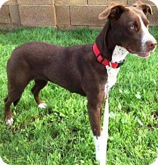 Border Collie Mix Dog for adoption in Gilbert, Arizona - Ruairi