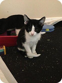 Domestic Shorthair Kitten for adoption in Madison, Wisconsin - Kvothe