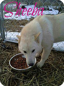 Shiba Inu Mix Dog for adoption in Shady Point, Oklahoma - Sheeba