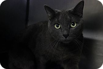 Domestic Shorthair Cat for adoption in Voorhees, New Jersey - Kyle-PetSmart