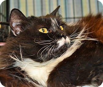 Domestic Longhair Cat for adoption in Wilmington, North Carolina - Harley