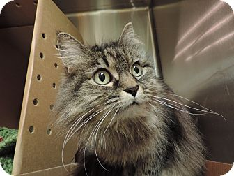 Domestic Longhair Cat for adoption in Sioux City, Iowa - DUTCHESS