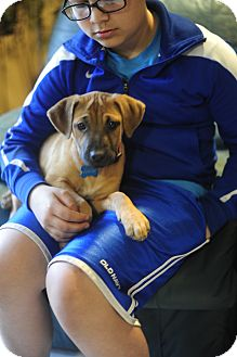 Labrador Retriever/Boxer Mix Puppy for adoption in Rochester, New Hampshire - Cookie