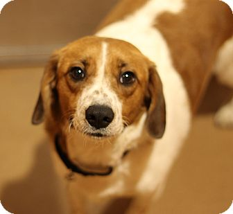Basset Hound/Beagle Mix Dog for adoption in Chicago, Illinois - Green Arrow