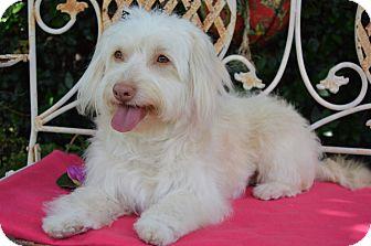 Havanese/Wheaten Terrier Mix Dog for adoption in Irvine, California - Bessie