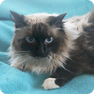 Himalayan Cat for adoption in Foster, Rhode Island - Bella (SC)