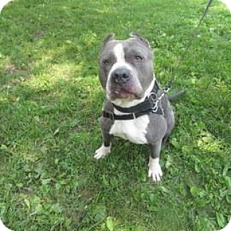 American Pit Bull Terrier Mix Dog for adoption in Janesville, Wisconsin - Baby Boy