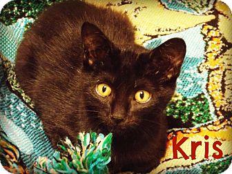 Domestic Shorthair Kitten for adoption in Defiance, Ohio - Kris