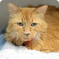 Domestic Mediumhair Cat for adoption in Denver, Colorado - Cora