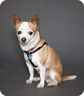 Chihuahua Mix Dog for adoption in Thousand Oaks, California - Chachi