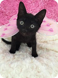 Domestic Shorthair Kitten for adoption in Rochester Hills, Michigan - Ali