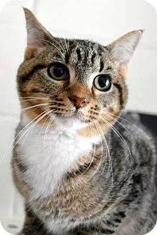 Domestic Shorthair Cat for adoption in Aiken, South Carolina - Robeya