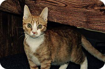 Domestic Shorthair Cat for adoption in Lakeland, Florida - PJ
