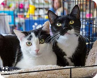 Domestic Shorthair Kitten for adoption in Merrifield, Virginia - Liberty