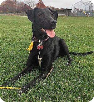 Labrador Retriever Mix Dog for adoption in Boston, Massachusetts - Beauty Labbie