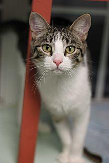 Domestic Shorthair Kitten for adoption in Carencro, Louisiana - Jetson