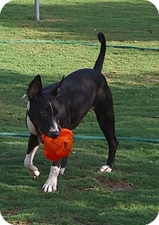 Bull Terrier Mix Dog for adoption in Pipe Creed, Texas - Bonnie