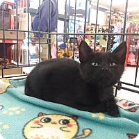 Adopt A Pet :: Felix - Alamo, CA